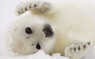 貝加爾冰湖等3年 他終拍到第1隻海豹 寶寶招手超溫馨!