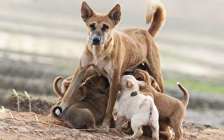 狗媽媽累癱倒在牆邊 為了孩子仍撐坐著哺乳