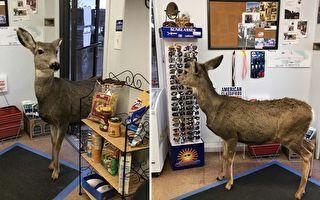 母鹿溜进商店讨墨镜薯片 没想到它还带了一个大部队