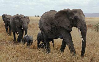 大陸15頭亞洲象北遷 學者揭背後心酸