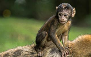 小猴子總騎在小豬身上「每天形影不離」 緣由感人