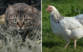 """网友笑:""""史上最弱撒娇"""" 猫咪意外输给一只鸡!"""
