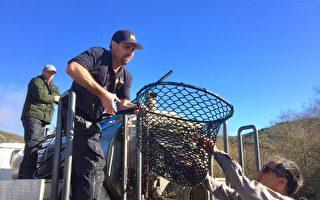 挽救瀕危物種 加州漁獵局放生三文魚