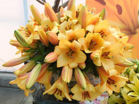 后里今年展出的百合花,顏色從白色、一直到深色系的顏色都有,從單瓣到多花瓣的百合,有一些是從沒有見過的品種。