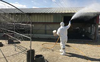 台中市首传禽流感疫情    逾千鸭只遭扑杀