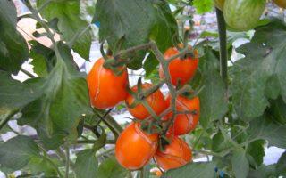 全台1月寒害 高雄番茄产区受灾最重