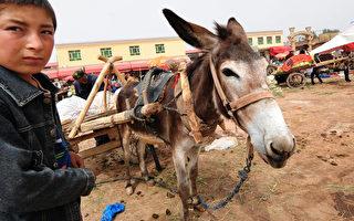 不顾全球驴子数量减少 中共降低驴皮进口税