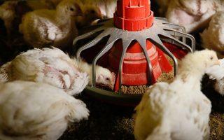 美鸡肉被课高关税 WTO裁决陆违规