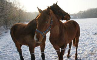 """雪后 两匹马的""""荒唐""""表现让数百万网友笑哭 热传"""