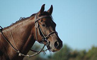 研究首次發現 馬能看懂人類的表情