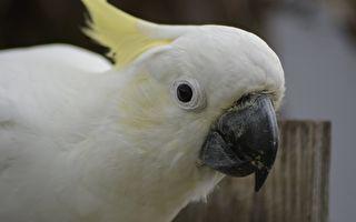 白鸚鵡竟模仿另一種動物的聲音 聽了讓人笑倒