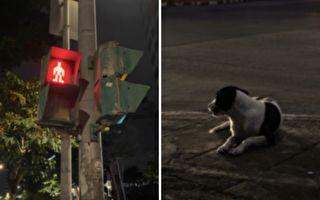 狗狗和人一起站在路口等紅燈 下一秒發生的事 讓人目瞪口呆!