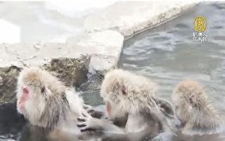 日本雪猴泡温泉 心满意足超幸福