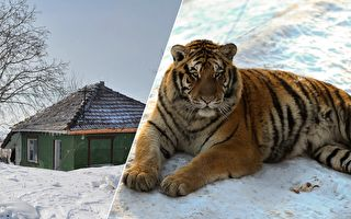 早起驚魂 夫妻發現老虎趴門前 原因你一定想不到