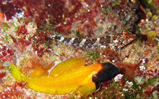 神奇海魚眼睛會發光 如手電筒般控制開關