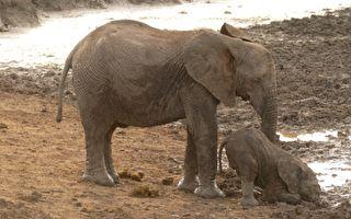 象宝宝摔倒在地 怎么也起不来 大象爸妈的表现 让人叫绝