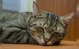 一隻假裝睡覺的貓在暗中窺伺主人的……