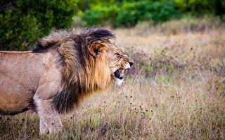 子彈不長眼?獵人正瞄準第2隻獅子 遭流彈奪命