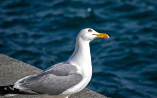 這隻海鷗看來很普通 可當牠仰脖子時 爆笑的一幕誕生啦