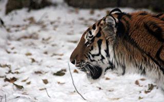 西伯利亞老虎難忍牙痛 罕見登門求助人類