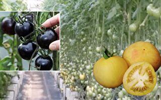 番茄天生长绒毛 还分黑黄青红 台湾番茄园果味飘香