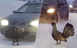 火鸡霸气拦路 司机钻空想跑 没想到它竟敢这样做
