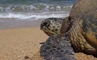 男子在海邊看到海龜 下一個動作讓網友感動又慚愧