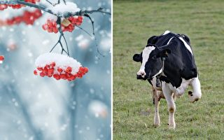 奶牛也喜欢初雪 它好奇感受雪的味道竟是这样做…模样超萌啊!