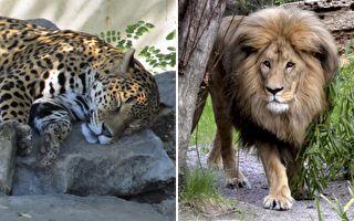 獅子一躍而起偷襲打盹花豹 下一幕讓心提到嗓子眼