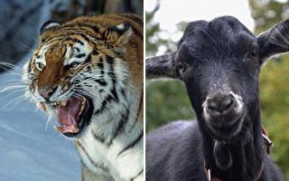 人们把山羊扔给老虎喂食 没想到最匪夷所思的一幕发生了