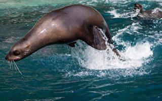 险被勒死 海狮获温水族馆营救