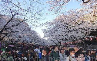 组图:樱花满开 东京上野公园人潮挤爆