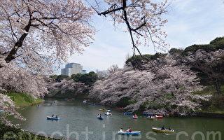 組圖:東京春櫻燦爛 千鳥之淵美不勝收