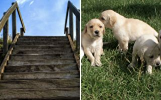 可爱爆表!三只小狗撞在一起 像毛球一样滚下楼梯