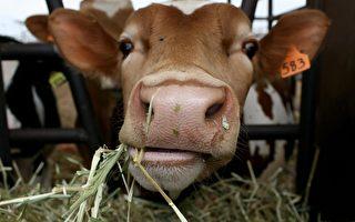 改变牛肠道细菌可增肉量减污染