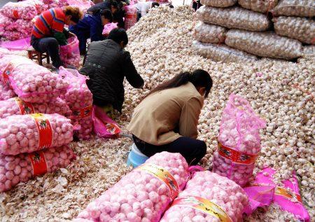 今年蒜头价格从每台斤25元惨跌至15元,外界质疑蒜头进口过剩致价崩。图为蒜头示意图。