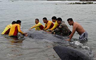 鲸鱼宝宝搁浅海滩奄奄一息 众人连拉带推送它回家