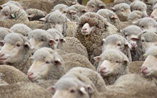 紐皇家研究院:羊毛比滌綸更有益於皮膚