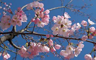春天到了!日本氣象廳宣布東京櫻花季開始