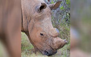 他們為保護犀牛鋸下尖角 看到中心的美麗圖案驚掉下巴