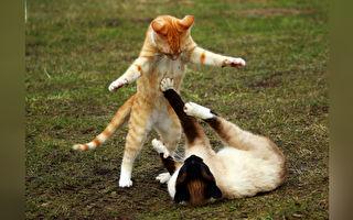 俩猫咪狭路相逢战云密布 主人爆笑发现家藏功夫高手