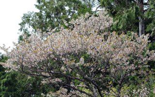 南山國小原鄉植樹  讓太平山白櫻花綻放