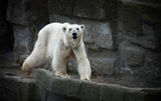 超大只北极熊跑到伦敦街头漫步 民众惊呆了