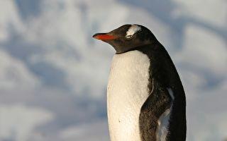 企鹅妈妈趴着不动 当它站起身 下面的东西让人萌化