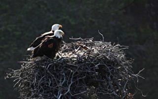 小紅尾鷹原本是禿鷹給寶寶的美餐 身陷鷹巢卻被收編