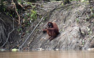 落单小野鸭溺水 猩猩妙手相救 下一秒的举动让游客屏息
