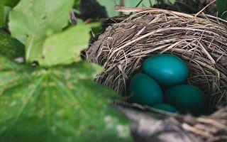 母鸟离开蛋出去觅食 接下来发生的事让网友好惊叹