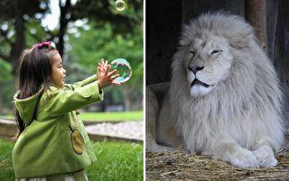 雄獅突然被消失的泡泡「突襲」 不知所措的模樣超無辜