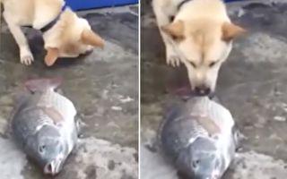 狗救鯉魚!動物間跨種類營救與友誼超感人