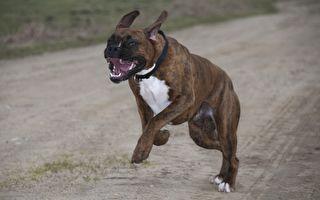 他訓練狗狗看家咬賊 個個成高手 來看看牠們的特別訓練